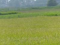 Weideflächen im Kirchenkoog Juni 2014