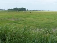Extensive Beweidung im Osterkoog Juni 2014